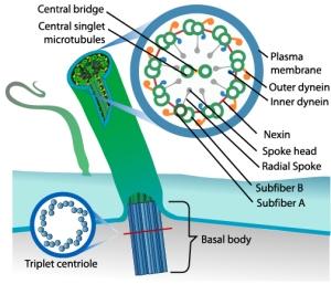 Eukaryotic_cilium_diagram - PD