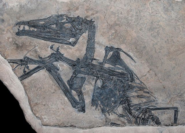 "Figure 2:MCSNB 2888, the holotype of Eudimorphodon ranzii. ""Eudimorphodon"" by Tommy from Arad - EudimorphodonUploaded by FunkMonk. Licensed under Creative Commons Attribution 2.0 via Wikimedia Commons http://commons.wikimedia.org/wiki/File:Eudimorphodon.jpg#mediaviewer/File:Eudimorphodon.jpg"