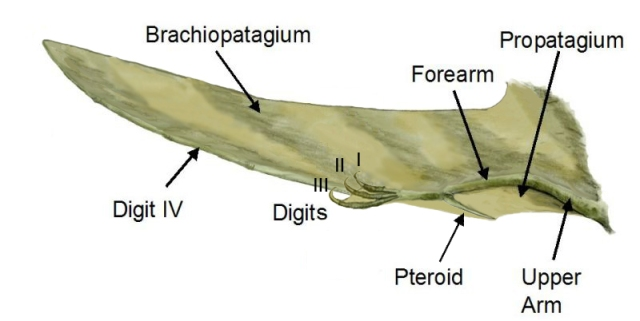 "Figure 1: A diagram of many of the major features of the pterosaur wing. ""Pterosaur wing BW2"" by Pterosaur_wing_BW.jpg: ArthurWeasley email:aweasley@hotmail.com derivative work: Dinoguy2 (talk) 18:45, 12 March 2009 (UTC) - Pterosaur_wing_BW.jpg. Licensed under Creative Commons Attribution 3.0 via Wikimedia Commons - http://commons.wikimedia.org/wiki/File:Pterosaur_wing_BW2.jpg#mediaviewer/File:Pterosaur_wing_BW2.jpg"