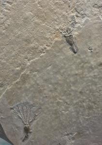 COL13-191-Cambrian fauna