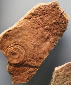 COL13-333-Cyclomedusa davidi