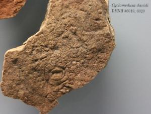 COL13-334-Cyclomedusa davidi