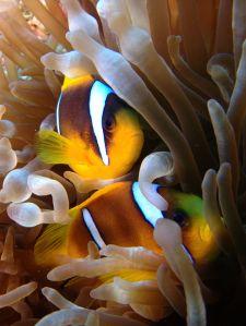 Anemone and clown fish - cc Tim Sheerman-Chase
