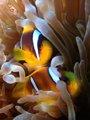 Anemone and clown fish - cc Tim Sheerman-Chase