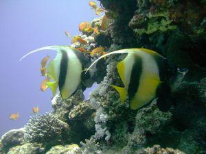 CIMG2602_Two_Red_Sea_Bannerfish,_Lighthouse_Reef_(2692870043) - cc Tim Sheerman-Chase