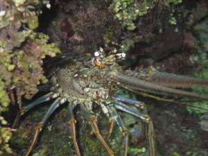 The ornately colored Caribbean Spiny Lobster, Panulirus argus, is found in crevices during the day throughout the Caribbean, and comes out to hunt and feed at night. It's numbers are decreasing because of overfishing.