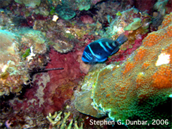 The Indigo Hamlet, Hypoplectrus indigo, is rare in many parts of the Caribbean sea, and is one of the many brightly colored fish that make up the rainbow of colors on tropical coral reefs.