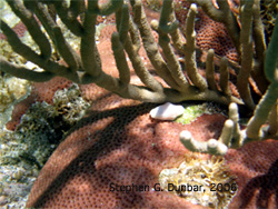 The small, white shell is a dead giveaway for the snail, Cyphoma gibossum on Caribbean coral reefs. The actual flesh of the animal is cream-colored with bright yellow spots. It feeds on polyps of gorgonian sea fans (a type of coral).