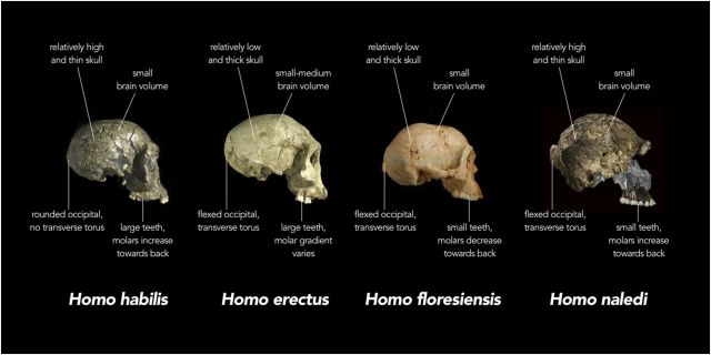 Fig. 5: Crania attributed to different species of Homo illustrate the concept of mosaic distribution of characters. Several anatomical features (indicated with their technical name in the figure) appear with different combinations in the different specimens. Image credit: Stringer 2015, available at http://elifesciences.org/content/4/e10627
