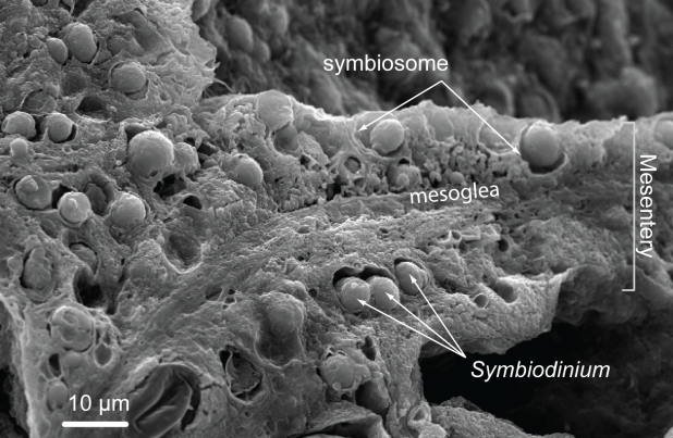 Fig. 1: SEM Microphotography of the endodermal tissue of the polyp of a reef coral (Porites porites) that shows the distribution and density of symbiont algal cells (genus Symbiodinium, indicated by the arrows). Photo courtesy of Allisonmlewis, available at https://en.wikipedia.org/wiki/Symbiodinium#/media/File:HostTissue_section.png (CC BY-SA 4.0).