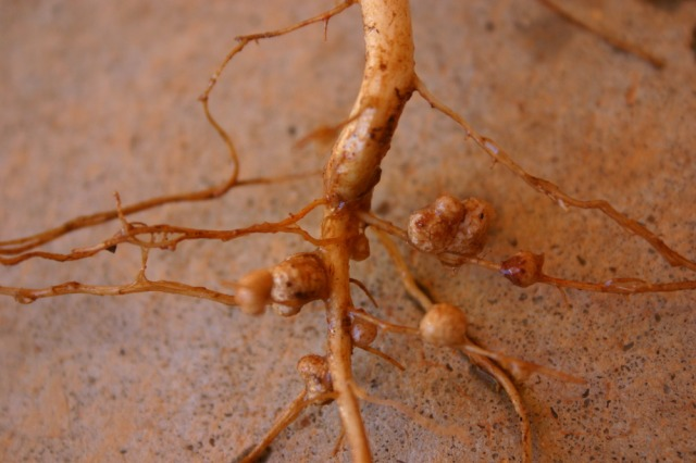 Rhizobia nodules on the roots of a cowpea (Vigna unguiculata) plant. Photo courtesy of Dave Whitinger, available at https://en.wikipedia.org (CC BY-SA 3.0)